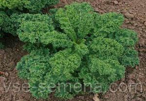 Капуста листовая Зелёная 0,5г