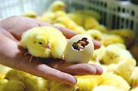 Побутовий інкубатор з автоматичним переворотом яєць