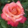 Роза чайно-гибридная «Христофор Колумб»