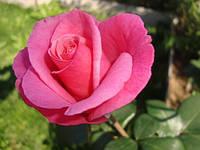 Роза чайно-гибридная «Карина»