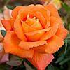 Роза чайно-гибридная «Луи де Фюнес»
