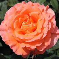 Роза чайно-гибридная «Тиа Тайм»