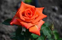 Роза чайно-гибридная «Наранга»
