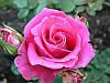 Роза чайно-гибридная «Равель»