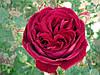 Роза чайно-гибридная «Госпел»