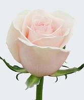 Роза чайно-гибридная «Дансинг Квин»