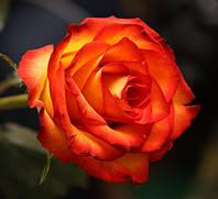 Роза чайно-гибридная «Хай Меджик»