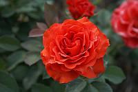 Роза чайно-гибридная «Эль Торо»
