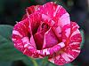 Роза чайно-гибридная «Пинк Интуишн»