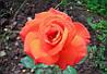 Роза чайно-гибридная «Лас Вегас»