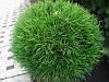Сосна горная Варелла С2(Pinus mugo Varella)
