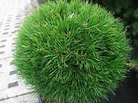 Сосна горная Варелла (Pinus mugo Varella)