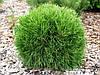 Сосна горная Варелла С5 (Pinus mugo Varella)