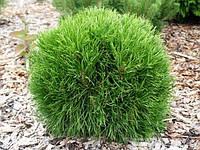 Сосна горная Варелла С5 (Pinus mugo Varella), фото 1