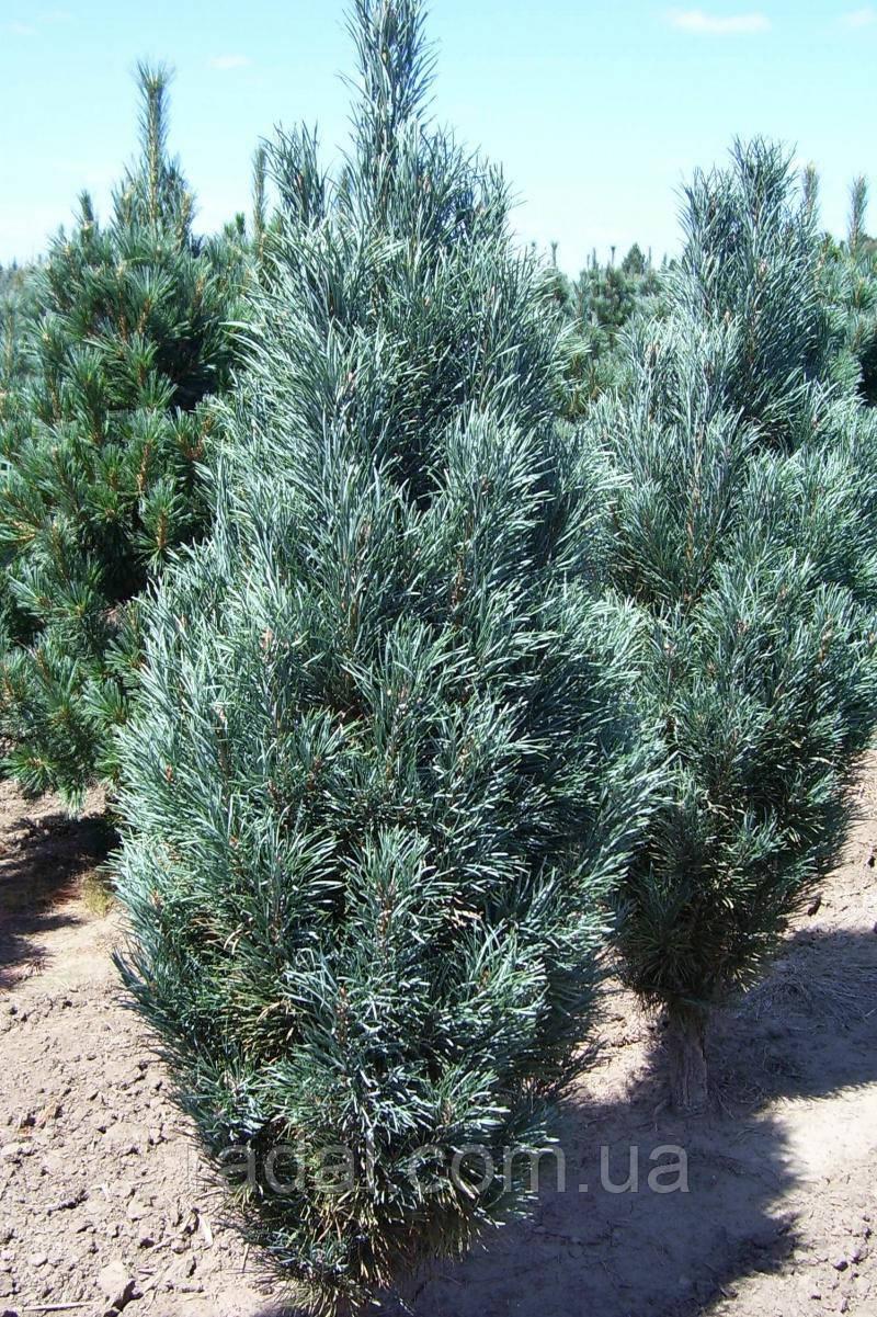 Сосна обыкновенная Фастигиата С5 ( Pinus sylvestris Fastigiata )