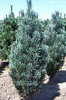 Сосна обыкновенная Фастигиата ( Pinus sylvestris Fastigiata )