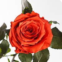 Неувядающая долгосвежая живая роза FLORICH-  КОФЕЙНЫЙ ТОПАЗ 7 карат