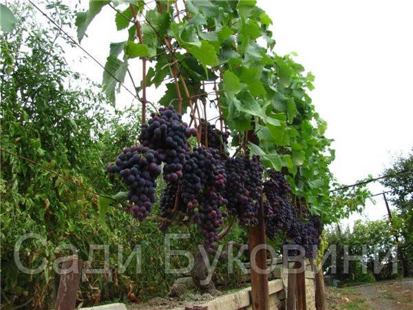 Саженцы винограда Молдова