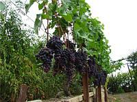 Саженцы винограда Молдова, фото 1