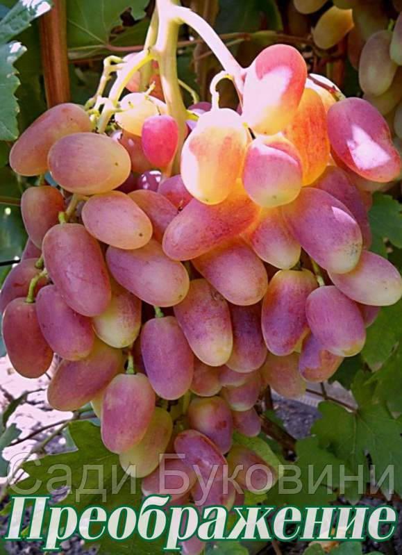 виноград фото преображение