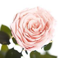 Неувядающая долгосвежая живая роза FLORICH-  РОЗОВЫЙ ЖЕМЧУГ 7 карат