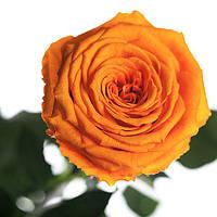 Неувядающая долгосвежая живая роза FLORICH-  ОРАНЖЕВЫЙ ЦИТРИН 7 карат
