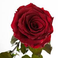 Неувядающая долгосвежая живая роза FLORICH-  БАГРОВЫЙ ГРАНАТ 7 карат