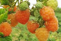 Саженцы желтая малина Желтый гигант (высший сорт)