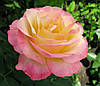 Роза чайно-гибридная «Глория»