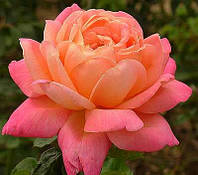 Роза чайно-гибридная «Люстиге»