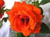 Роза чайно-гибридная «Кордес Бриллиант»