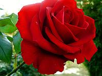 Роза чайно-гибридная «Гранд Гала»