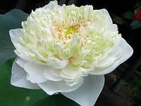 Лотос орехоносный белый 1 семя