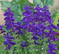 Шалфей пестрый salvia viridis10 сем