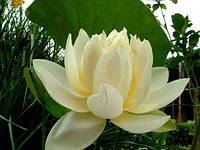 Лотос орехоносный Нежно-желтый 1 семя