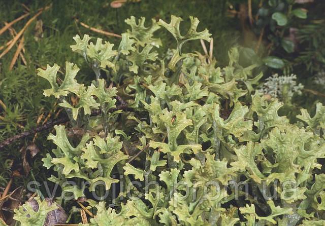 Исландский мох,  центрария, легочный мох
