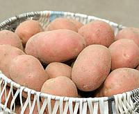 Картофель семенной Лабелла