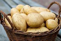 Картофель семенной ранний Агата (Альта)
