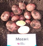 Картофель семенной Моцарт
