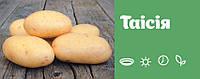 Картофель семенной Таисия