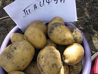 Картофель семенной Тайфун