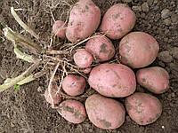 Картофель семенной Рокко