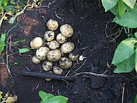 Картофель семенной Санте