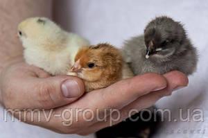 Выведение цыплят в домашних условиях