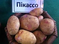 Картофель семенной Пикассо 1 репродукция, 2 репродукция