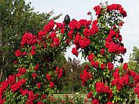 Саженцы плетистых мелкоцветных красных роз