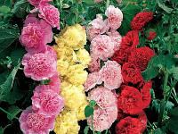Мальва, шток-роза / Alcea rosea