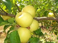 Саженцы яблони Голден Делишес Яблоко груша (Зимний сорт)