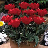 Тюльпан махровый гибрид Грейга Double Red Riding Hood (Дабл Рэд ридин Худ) 3 шт./уп.