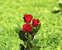 долговечная роза в колбе не вянет 5 лет! 3 розы.КРУПНЫЕ.7/36см. НАЛОЖЕННЫЙ ПЛАТЕЖ! Florich.
